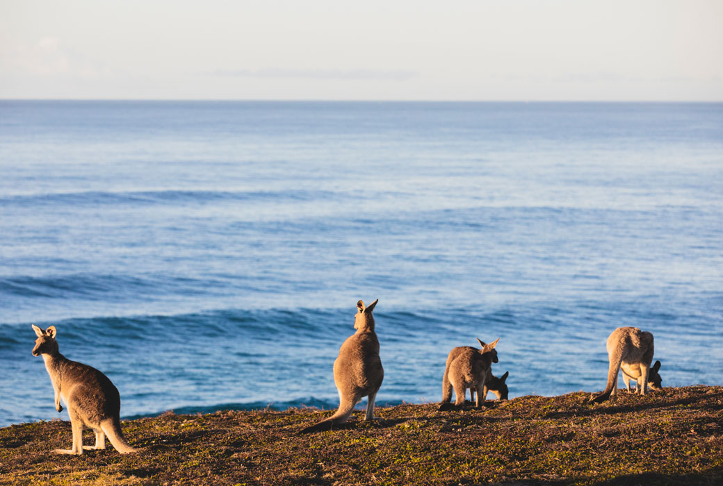 Kangaroos in the morning light at Emerald Beach on the Coffs Coast.