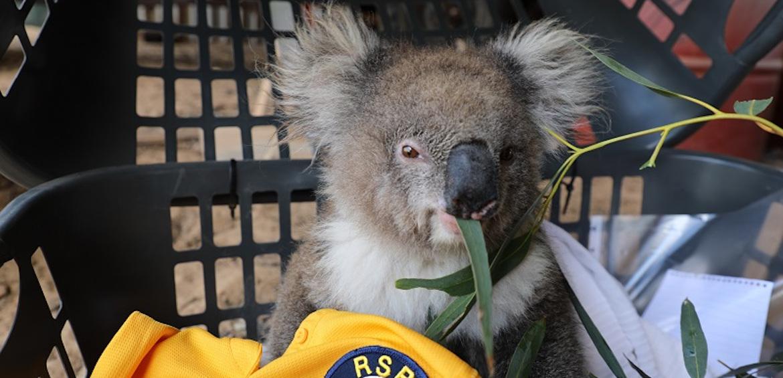 Koala, bushfires, bushfire