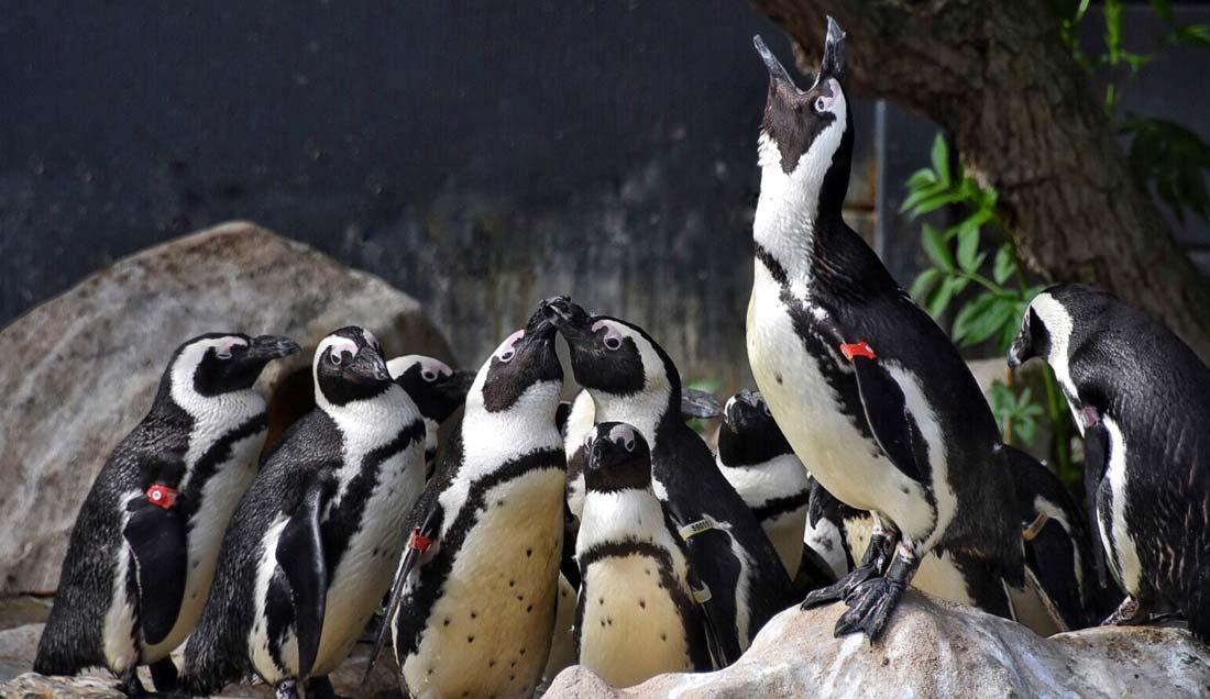 The penguins treated at SANCCOB