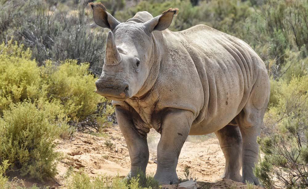 Rhino at Aquila Private Game Reserve