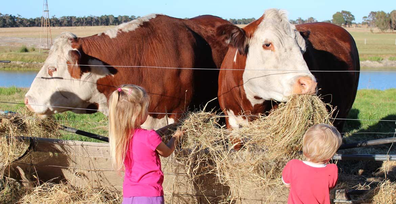 cow feeding at BIG4 Taunton Farm Holiday Park