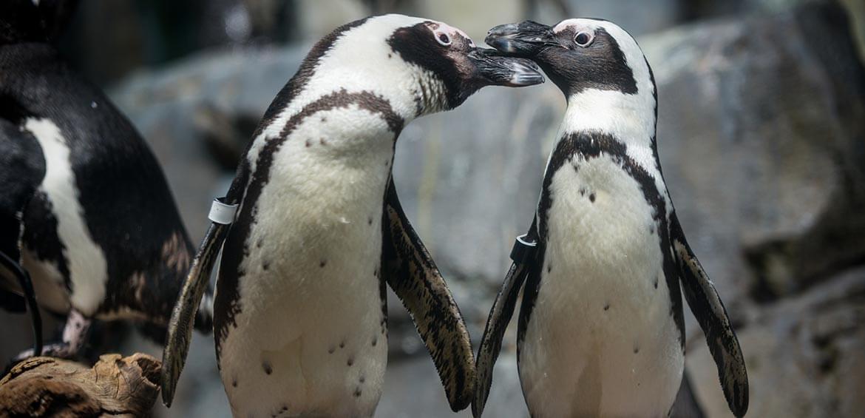 African Penguins at Monterey Bay Aquarium