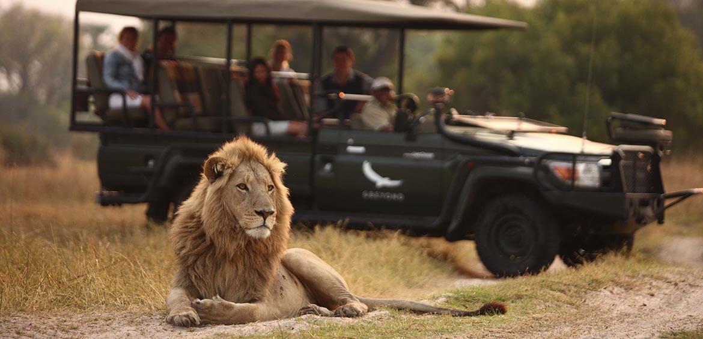 Lion on safari game drive
