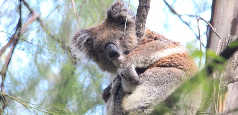 Echidna Walkabout Tours koala mallacoota wild koala day