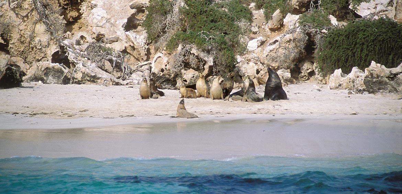 Australian Sea Lions (Neophoca cinerea), Jurien Bay