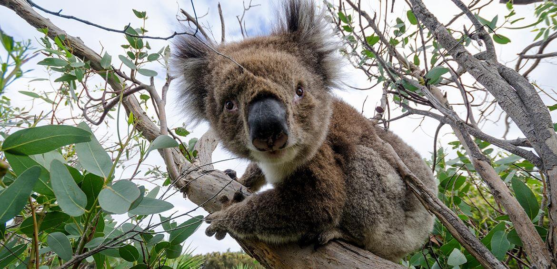 Spotting koala's in Victoria
