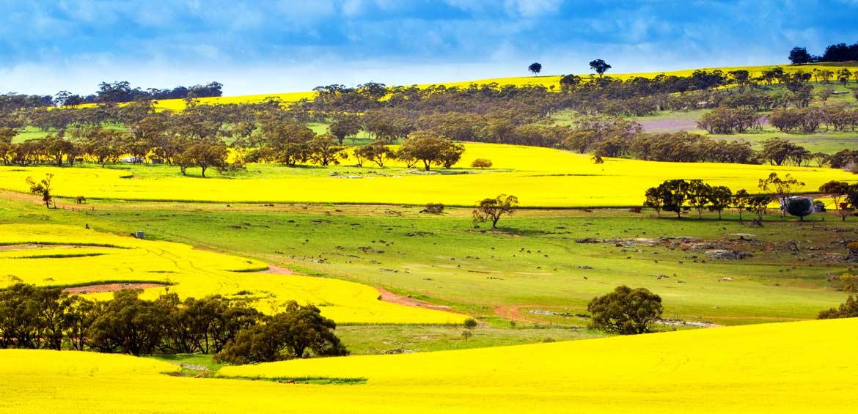 Toodyay Canola Fields, Western Australia