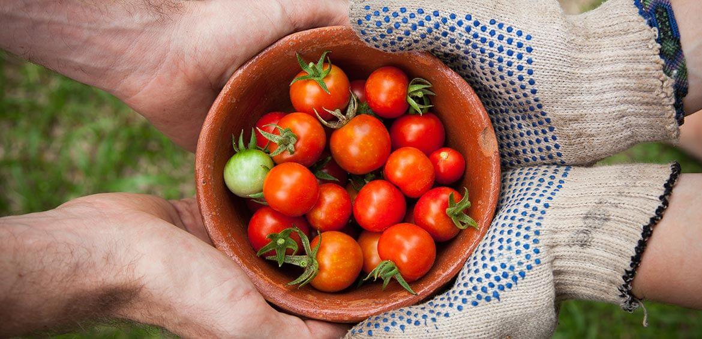 Tomatos straight from the garden