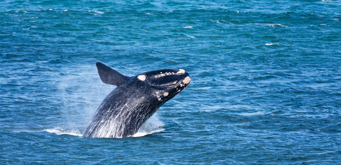 Whales in Warrnambool