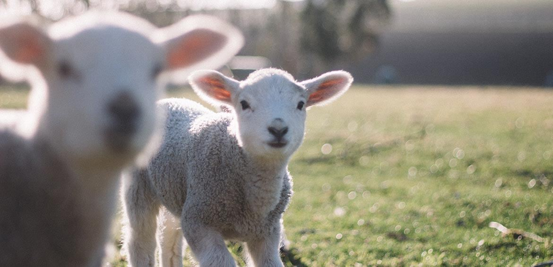 Lambs on a farm
