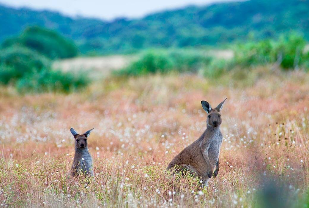 Kangaroos at Mount Gambier