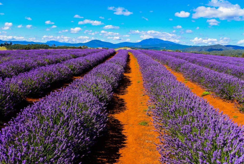 Bride-stowe Lavender Estate, Tasmania