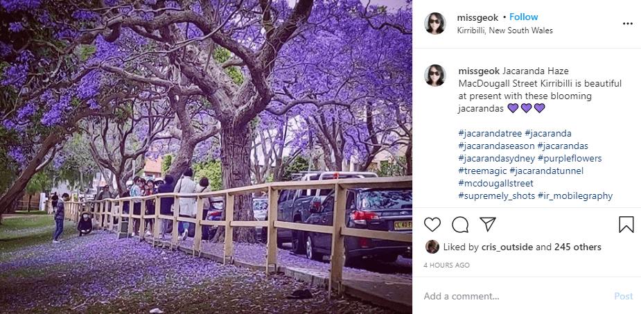 McDougal Street Kirribili Jacadanda blooms