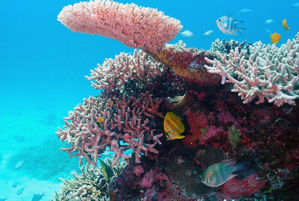 Colourful reef fish swim amongst Acropora corals on Wheeler Reef