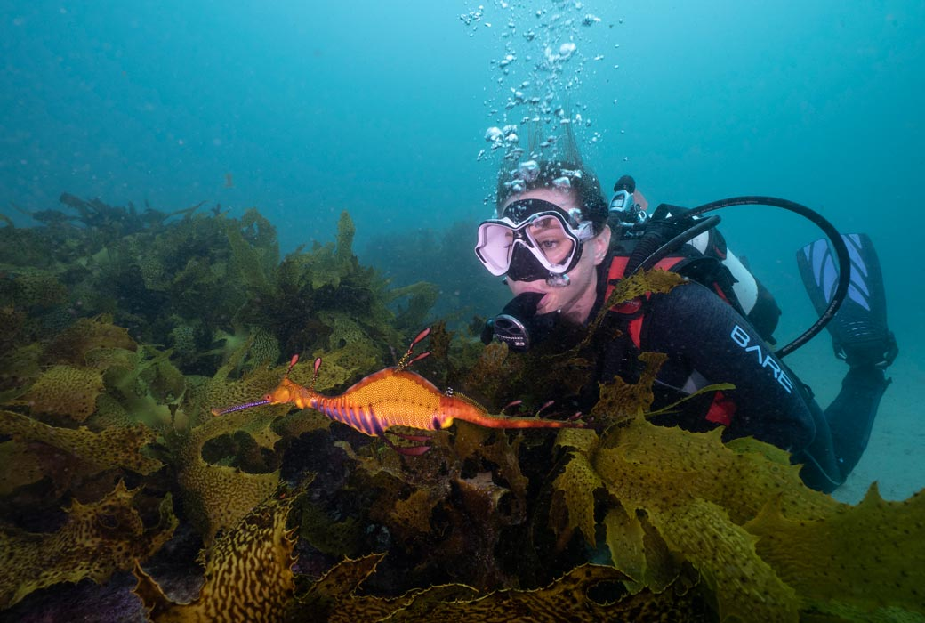 Scuba diving with a weedy Seadragon in Kurnell