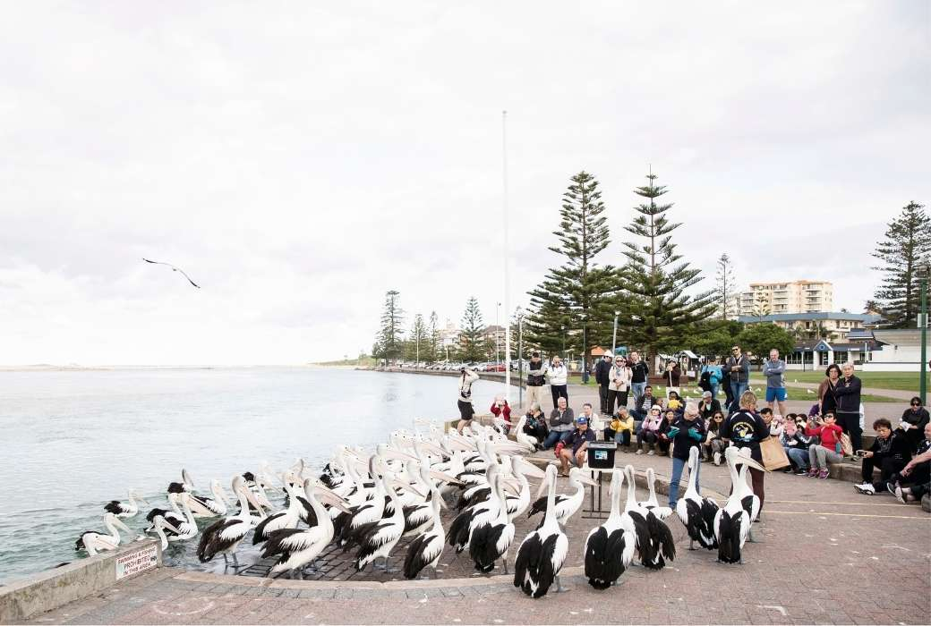 Pelican Feeding, The Entrance © Destination NSW