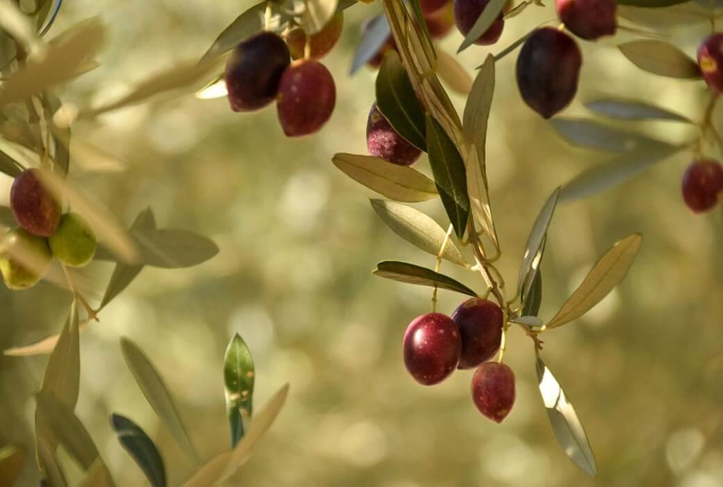 Shodoshima Olives
