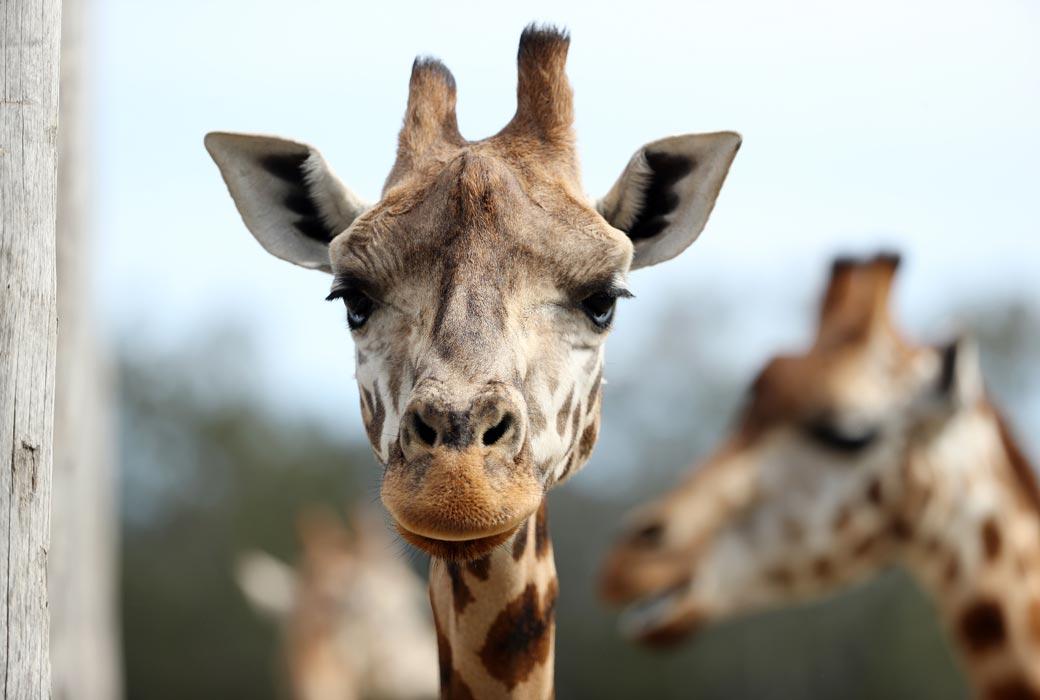 Giraffe at Mogo Wildlife Park