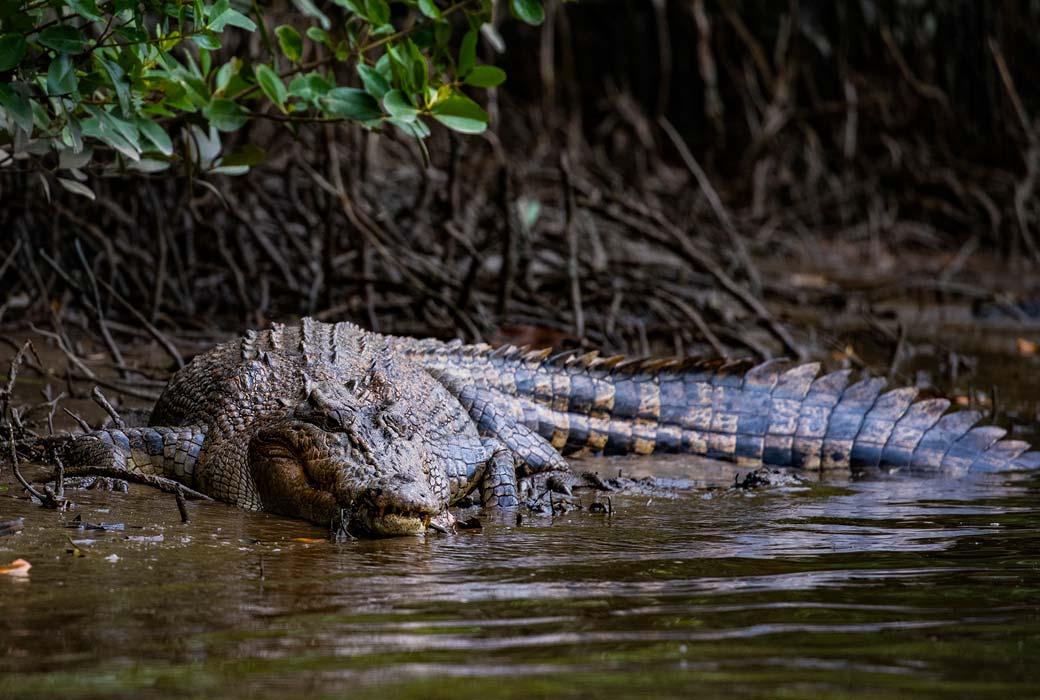 Crocodile near Mission Beach
