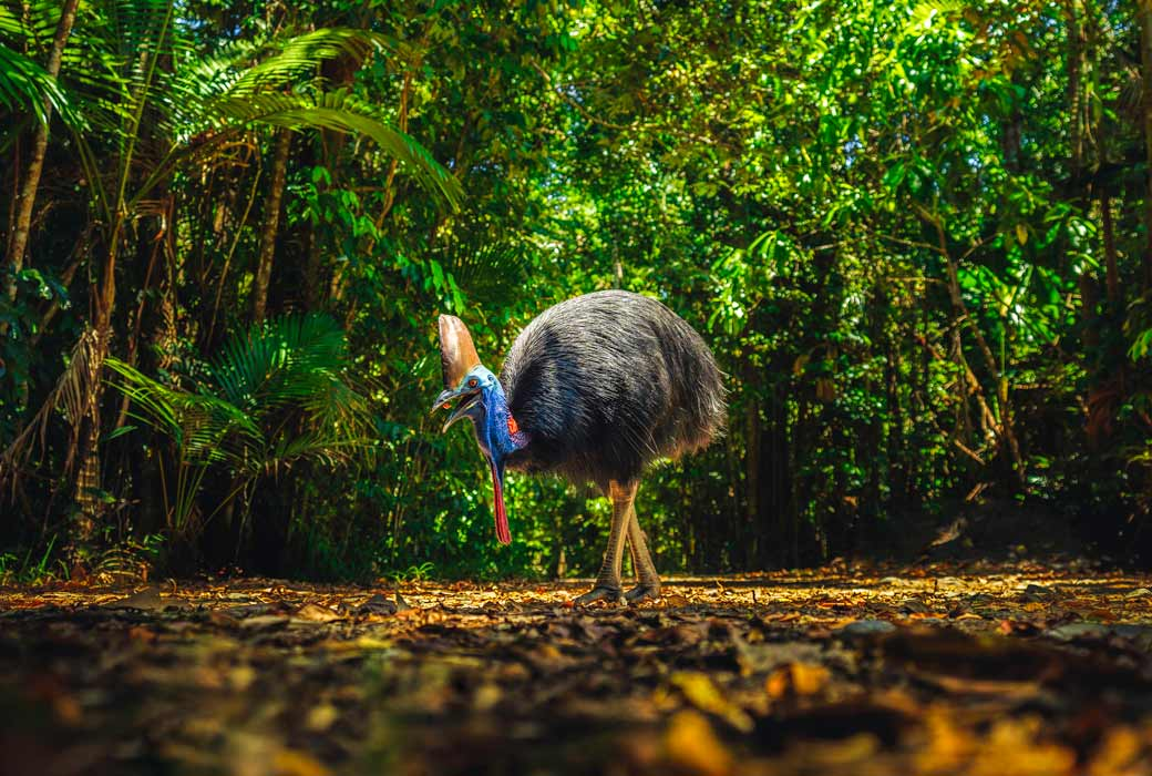 Wild cassowary