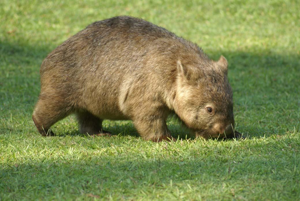 Wombat at BIG4 Kelso Sands' wildlife park