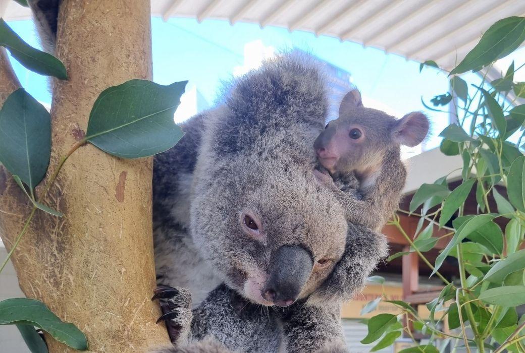 koala name