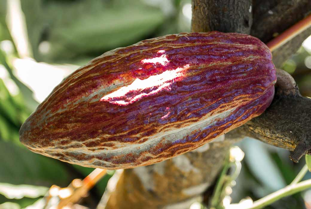 Cocoa seed at Charley's Chocolate Factory